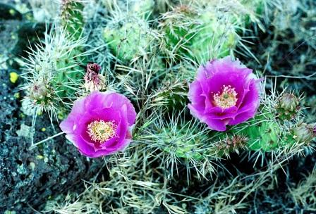 Pink Cactus Blossoms